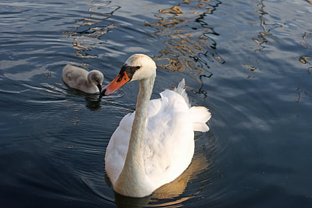 swan, chicks, bird, waterfowl, cute, young animals, animal