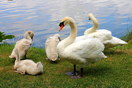 swans, birds, nature, animals, family, majestic, lake