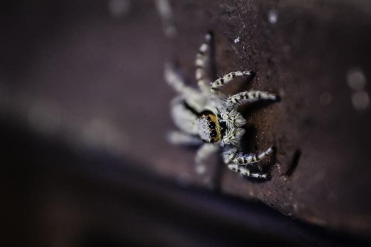 animal, arachnid, creepy, little, macro, spider, wildlife