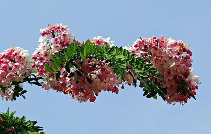 Cassia javanica, Java kanella, Pink shower, Ābeļu ziedu, varavīksnes dušas koks, puķe, Flora