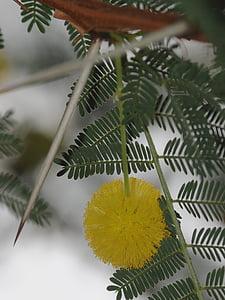 Mimosa, lill, okas, okkaline, kollane