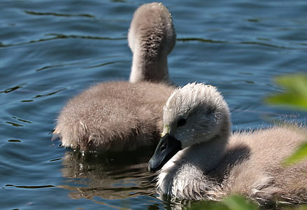 swan young, waters, baby swans, swim, lake, swans, baby swan