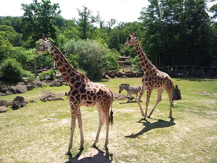 zoo, giraffe, animal