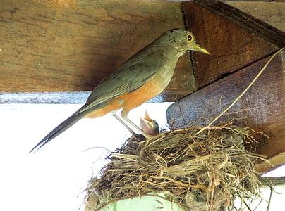 thrush, birdie, bird, nest, baby bird
