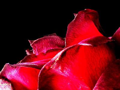 Rosa, vermell, rosa vermella, flor, flor, flors roses, roses vermelles
