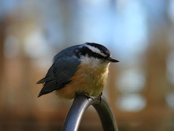 ocell, coll roig, Pica-soques blau, observació d'aus