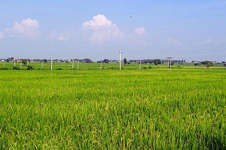 rice fields, gangavati, karnataka, india, paddy, rice paddy, agriculture