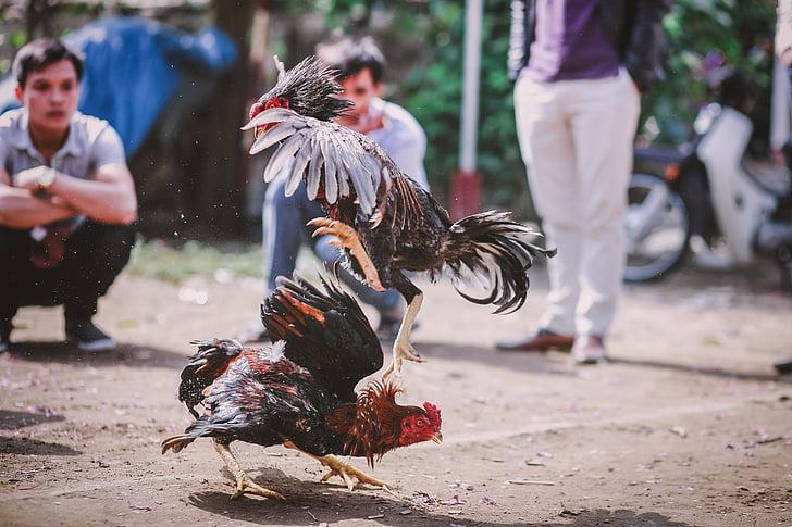 skill chicken, cockfighting, gamechicken, outdoors, people, women, men