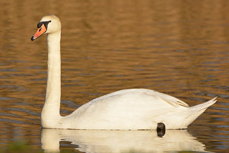 swan, animal, waterfowl, whooper swan