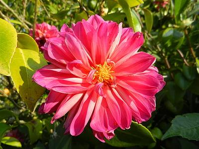 Dalia, lill, Aed, loodus, kroonleht, taim, suvel