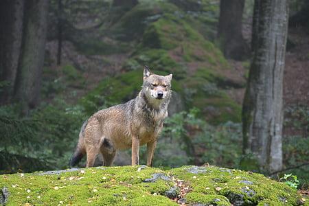 wolf, bavarian national park, alpha dog, predator, wild, forest, animal