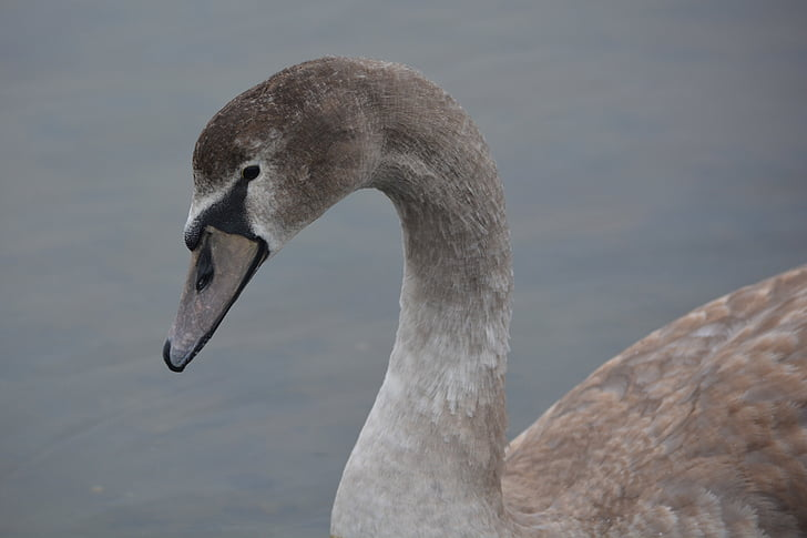 labuť, zvíře, Příroda, labuť zpěvná, vodní ptactvo