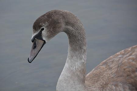 cisne, animal, naturaleza, cisne de whooper, aves acuáticas