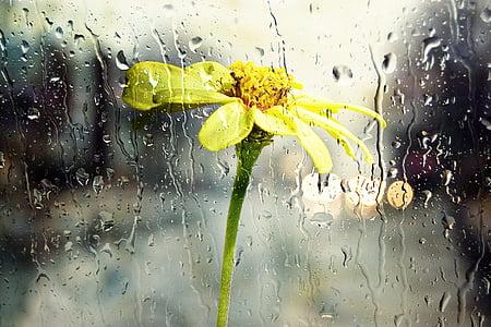 rain, wet, window, glass yellow, flower, nature, weather