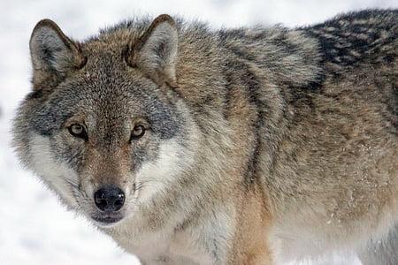 Wolf, Predator, kiskjaliste, Canis lupus, Pack looma, tähelepanu, sotsiaalse