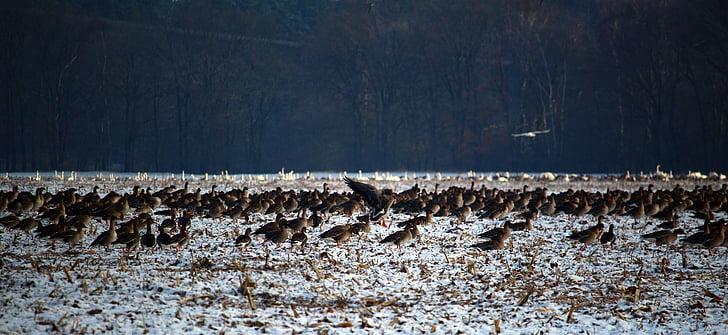 Wild Gâşte, stol de pasari, iarna, zăpadă, păsările migratoare, roi, gâşte