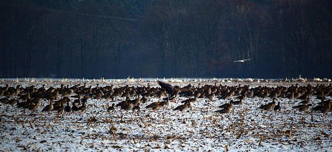 oques salvatges, ramat d'ocells, l'hivern, neu, aus migratòries, eixam, oques