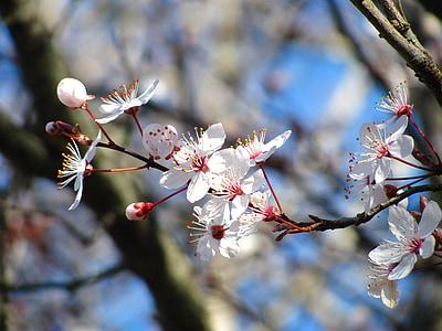 cirera, natura, flor, primavera, flor, Sakura