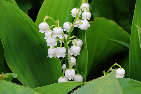 lily of the valley, flower, spring, white, nature, plant, signs of spring