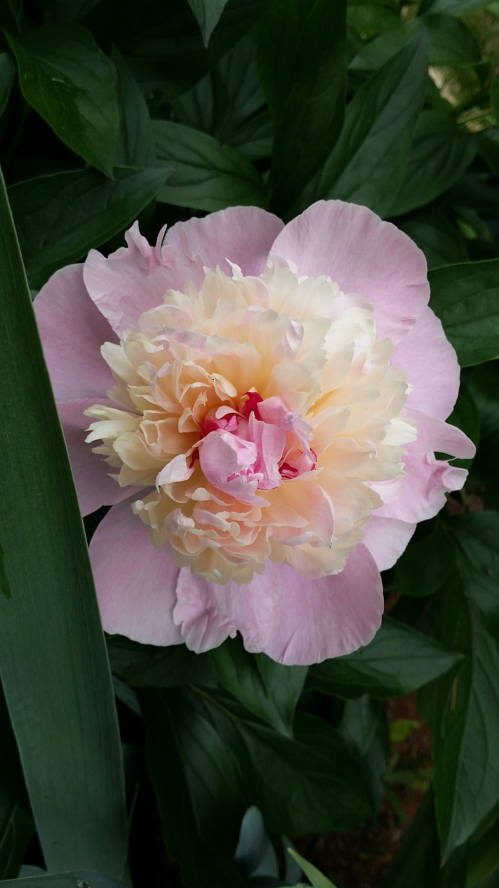 peony, pink peony, blossom, spring flower, pink, nature, flower