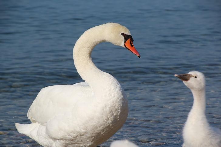 лебед, лебед семейство, Младият лебед, водолюбивите птици, лебеди, дива природа фотография, Белият лебед