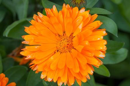 Medetkų, Vaistinė medetka, Kompozitai, gėlė, oranžinė, oranžinės gėlės, žiedų