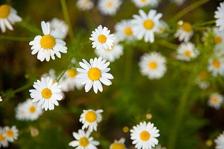 꽃, 밝은, 카밀레, 카모마일, 데이지, 필드, 플로 라