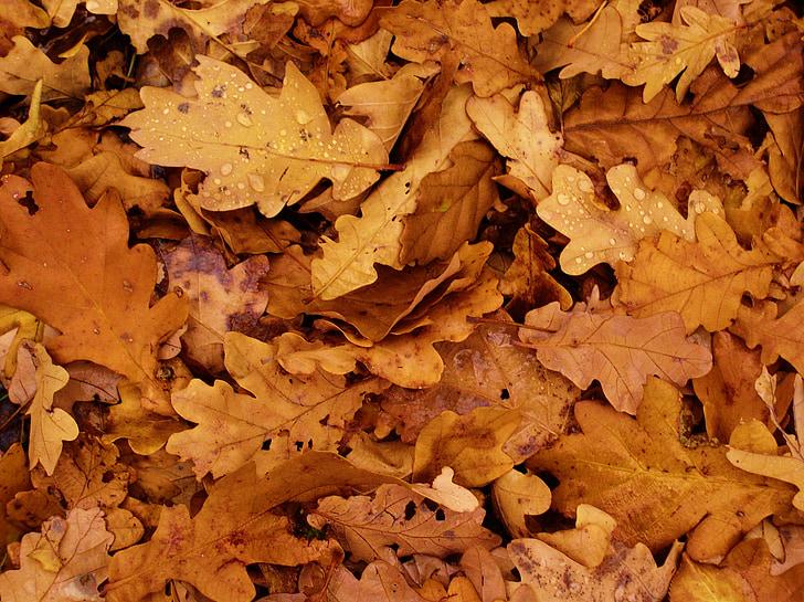lišće, jesen, hrast, lišće, jesenje lišće, smeđa, suho lišće