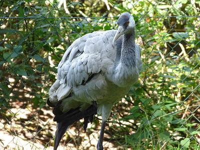Крейн, птица, животните, прелетни птици, птици, природата, перушина