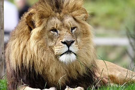 lion, big, cat, wildlife, wild, carnivore, feline