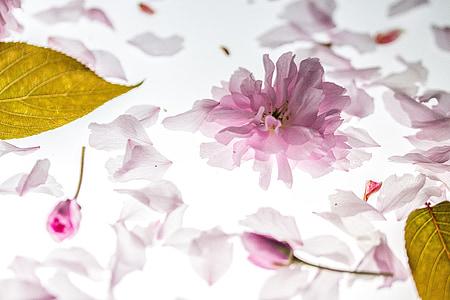 pètals, caient, cirera japonesa, les fulles que cauen, flor, flor, flor del cirerer