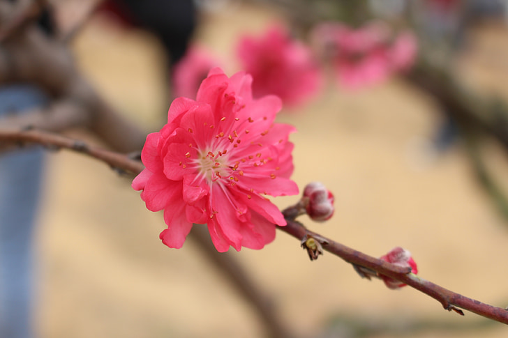 flower, peach blossom, the scenery