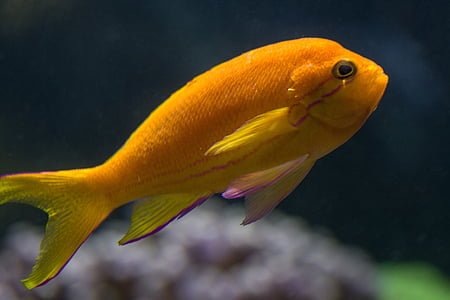 fish, sea fish, orange, coral fish, underwater, animal, nature