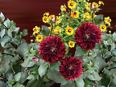 dàlia, flor, flor, flor, jardí, vermell, natura