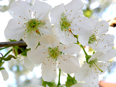 cherry blossoms, garden, cherry, white blossom, nature, blossom, bloom