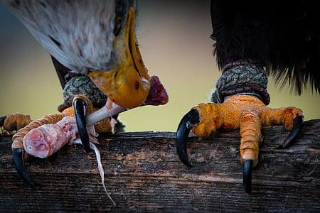 Белоголовый орлан, добычей, Haliaeetus leucocephalus, Адлер, ящер, Хищная птица, птица