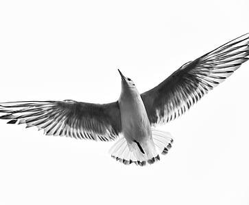 Flying, lintu, musta ja valkoinen, lentää, siivet, eläinten, taivas