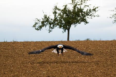 kalju kotka, lentää, lennon, lähestymistapa, Haliaeetusleucocephalus, Adler, Raptor