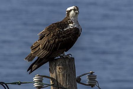 Osprey, lintu, Hawk, Wildlife, Predator, nokka, siipi