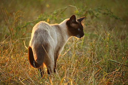 cat, mieze, siamese cat, siamese, siam, breed cat, grass