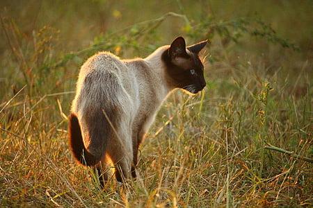 猫, mieze 型, シャム猫, シャム, サイアム, 猫の品種, 草