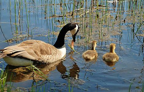 canada goose, branta canadensis, swan, swans, bird, animals, lake