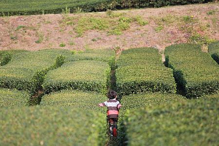Jeju, zeleni čaj plantaže, priroda, plantaža čaja, polje