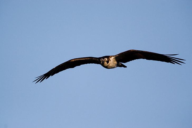 Erelis žuvininkas, paukštis, plaukioja, Laukiniai gyvūnai, Gamta, Raptor, dangus