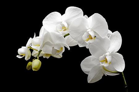 orquídia, flor, flor, flor, brot, tropical, blanc