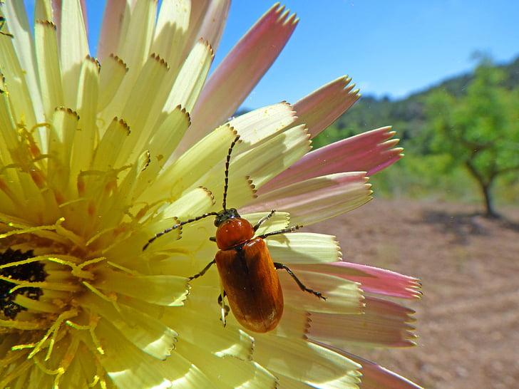 corc, escarabat, dípters, escarabat taronja, flor, antenes