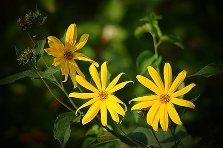 lill, loodus, kollane, taim, Makro, Aed, kollane lill