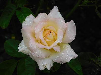 上升, 花, 早上, 露水, 开花, 绽放, 自然