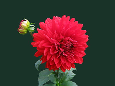 dahlia, red, blossom, bloom, isolated, flower