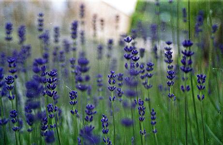 lavanda, verd, bokeh, flor, l'estiu, planta, herba